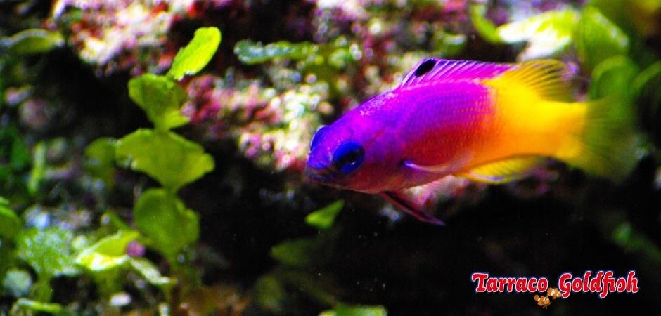 http://www.tarracogoldfish.com/wp-content/uploads/2013/09/gramma-loreto21.jpg