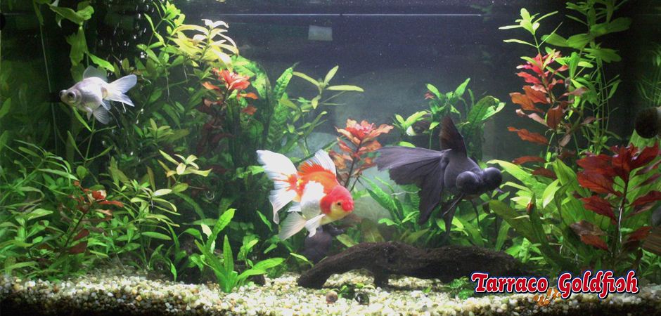 Acuari Goldfish TarracoGoldfish