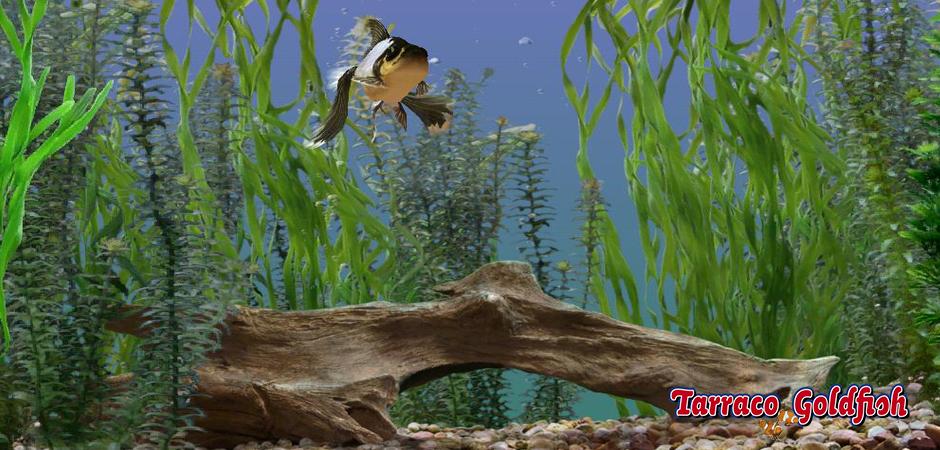 Acuario Goldfish TarracoGoldfish