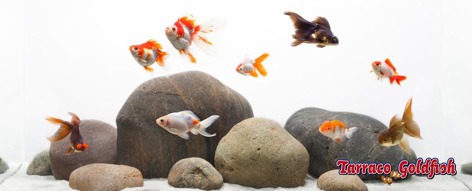 Guia acuarios de agua fr a tarraco goldfish for Los mejores peces de agua fria