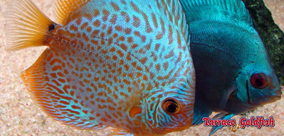 Discos 2 Tarraco Goldfish