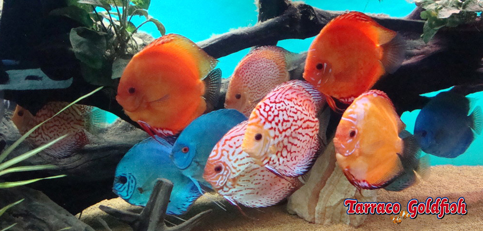 Discus 4 Tarraco Goldfish