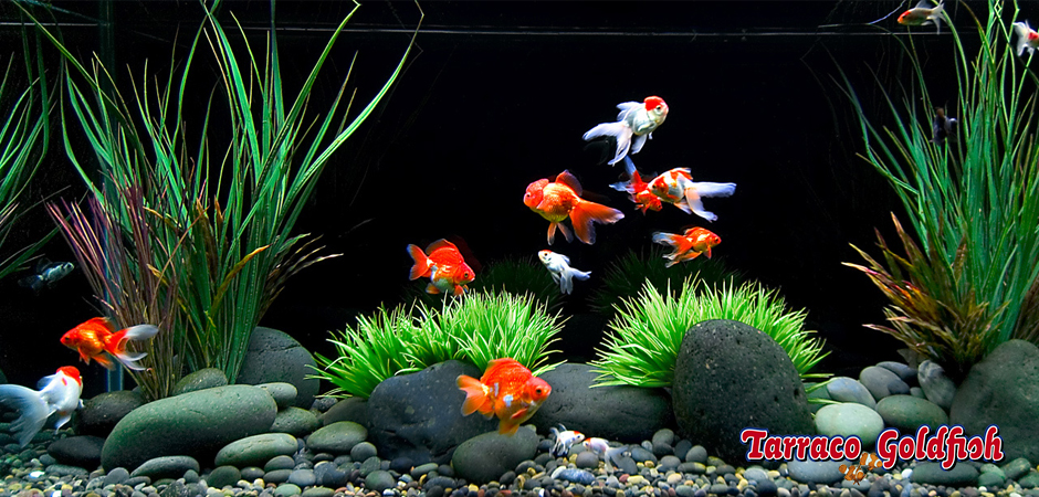 Goldfish aquarium TarracoGoldfish