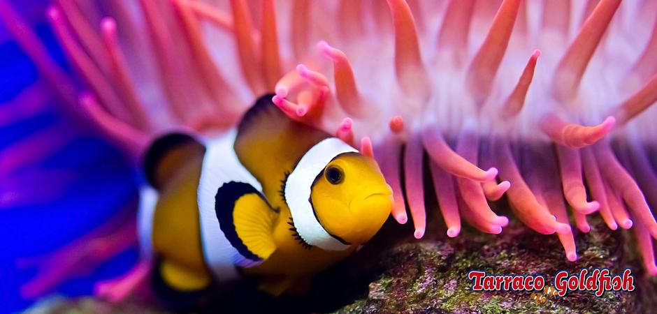 Ocellaris anemona TarracoGoldfish + logo