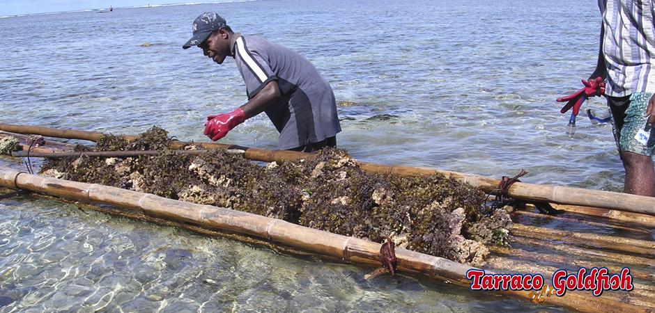 Recolectors de roca TarracoGoldfish