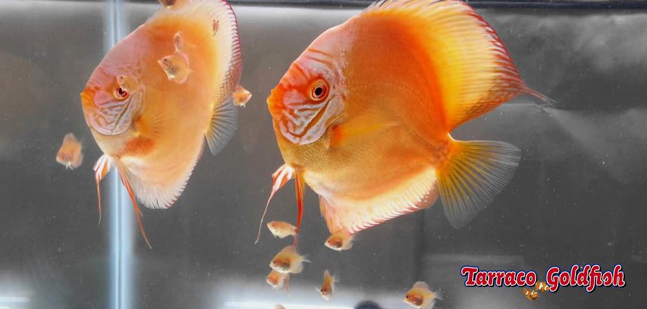 cria discos 2 Tarraco Goldfish