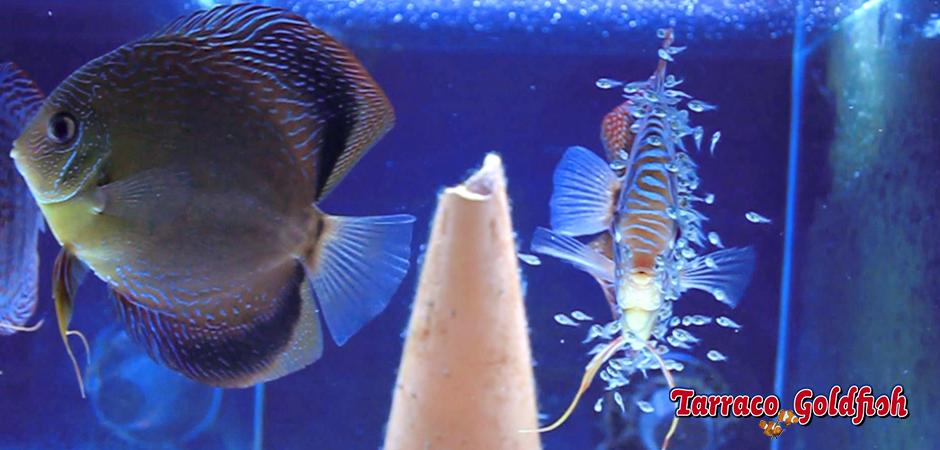 discos cria 3 Tarraco Goldfish