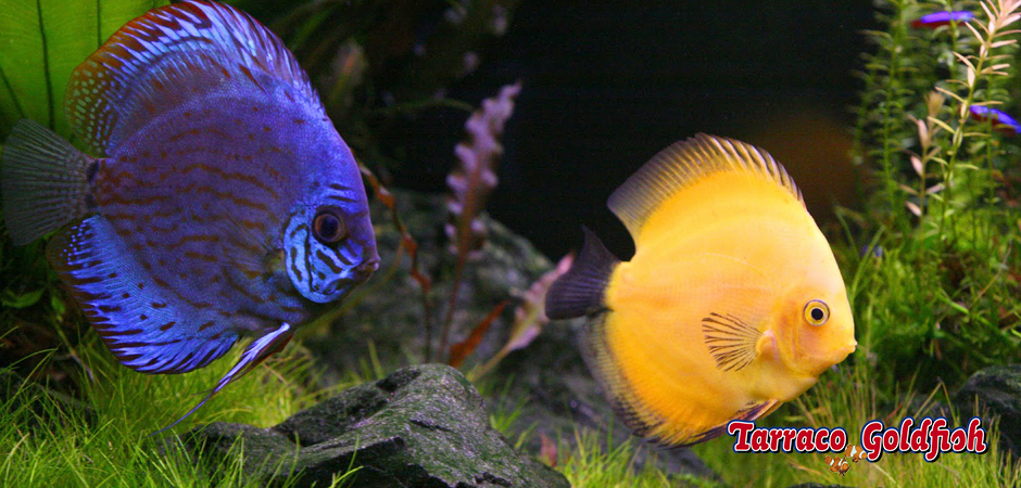 discus 3 Tarraco Goldfish