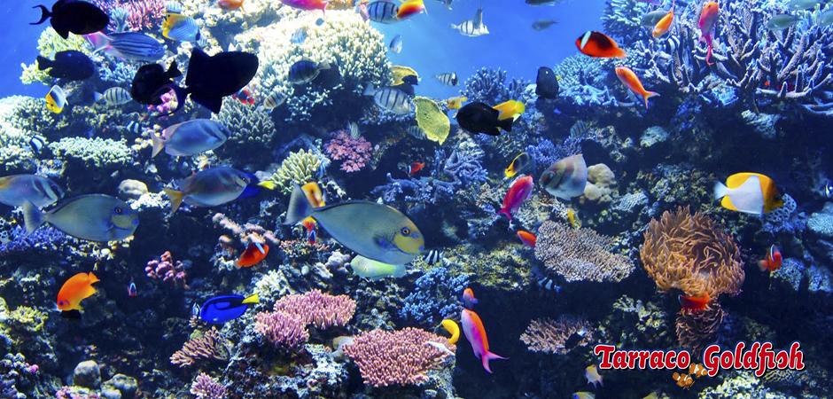 Acuario marino 3TarracoGoldfish