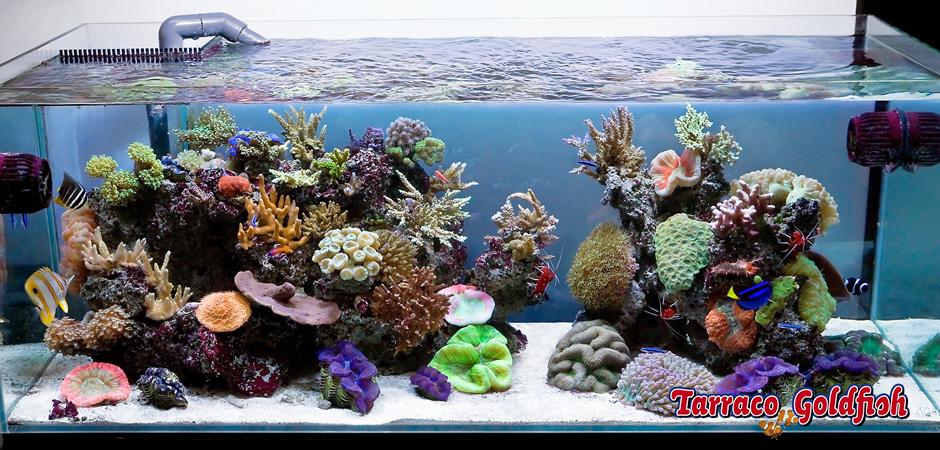 acuari mari 7 TarracoGoldfish