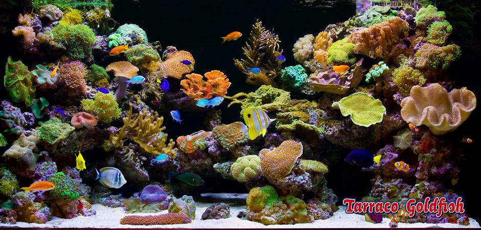 acuario marino 11 TarracoGoldfish