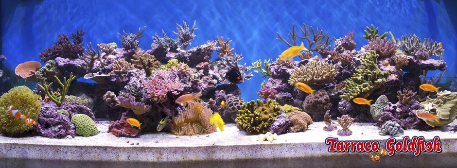 acuario marino 2 TarracoGoldfish