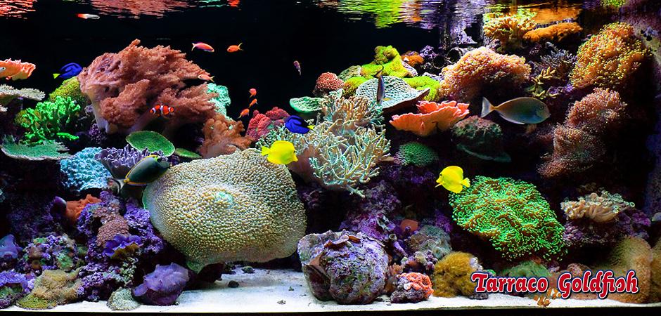Gu a acuarios de agua marina tarraco goldfish for Peces de acuario marino