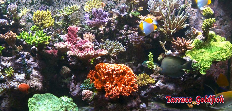 aquari mari 9 TarracoGoldfish