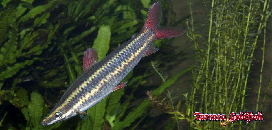 Anostomus Anostomus 1 TarracoGoldfish