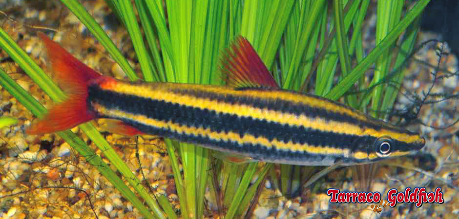 http://www.tarracogoldfish.com/wp-content/uploads/2014/02/Anostomus-Anostomus-3-TarracoGoldfish.jpg