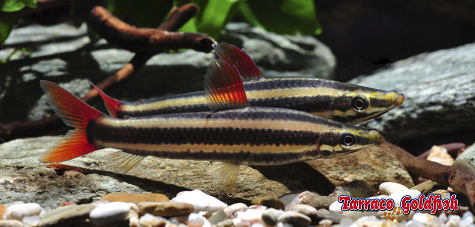 http://www.tarracogoldfish.com/wp-content/uploads/2014/02/Anostomus-Anostomus-TarracoGoldfish.jpg
