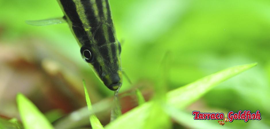 http://www.tarracogoldfish.com/wp-content/uploads/2014/02/Anostomus-ternetzi-2-TarracoGoldfish.jpg