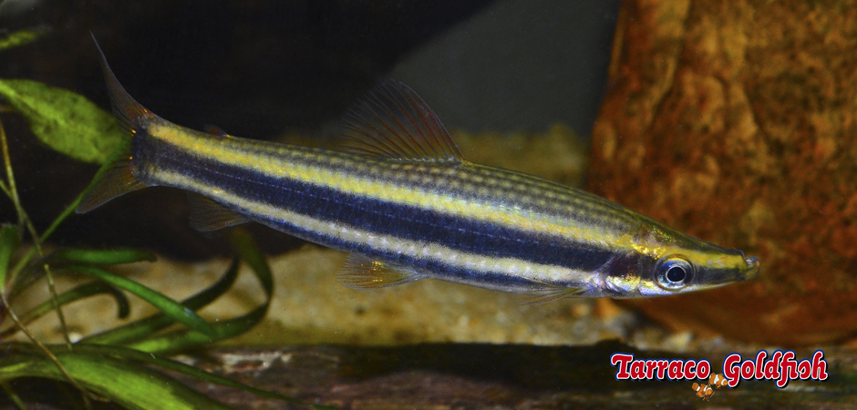 Anostomus ternetzi 4 TarracoGoldfish