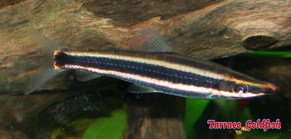 http://www.tarracogoldfish.com/wp-content/uploads/2014/02/Anostomus-ternetzi-TarracoGoldfish.jpg