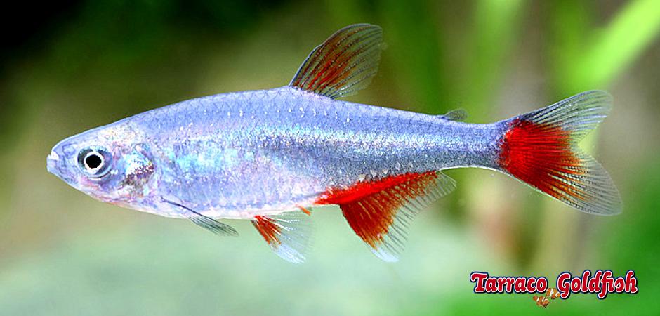 http://www.tarracogoldfish.com/wp-content/uploads/2014/02/Aphyocharax-anisitsi-TarracoGoldfish.jpg