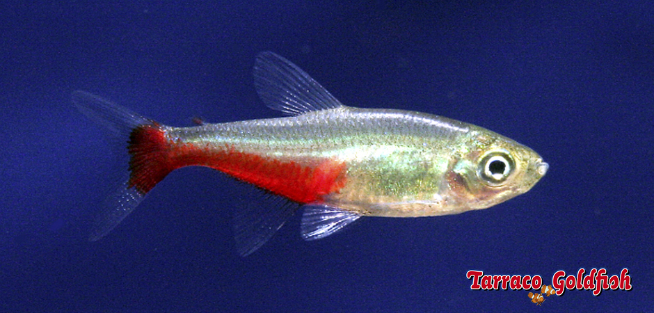 http://www.tarracogoldfish.com/wp-content/uploads/2014/02/Aphyocharax-rathbuni-1-TarracoGoldfish.jpg