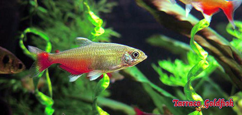 Aphyocharax rathbuni 2 TarracoGoldfish