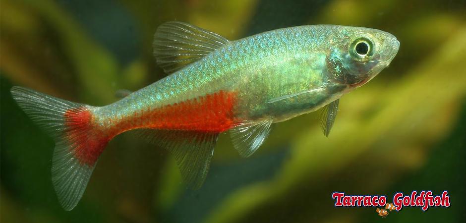 http://www.tarracogoldfish.com/wp-content/uploads/2014/02/Aphyocharax-rathbuni-3-TarracoGoldfish.jpg