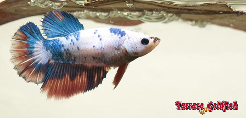 http://www.tarracogoldfish.com/wp-content/uploads/2014/02/BETTA-SPLENDENS-0-TarracoGoldfish.jpg