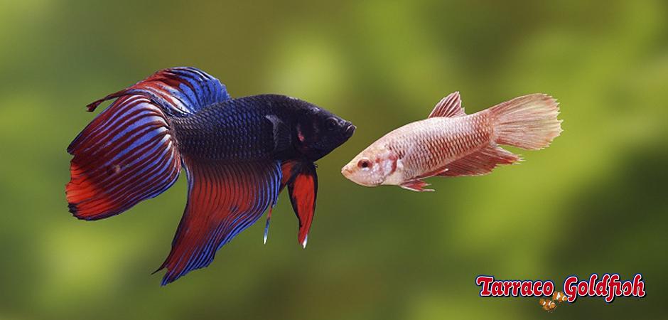 BETTA SPLENDENS 1 TarracoGoldfish