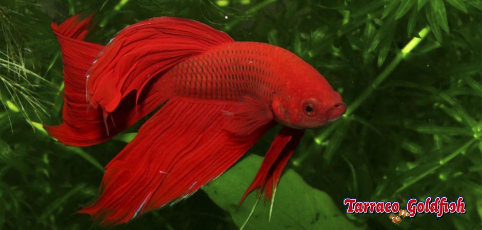 http://www.tarracogoldfish.com/wp-content/uploads/2014/02/BETTA-SPLENDENS-3-TarracoGoldfish-+-logo.jpg