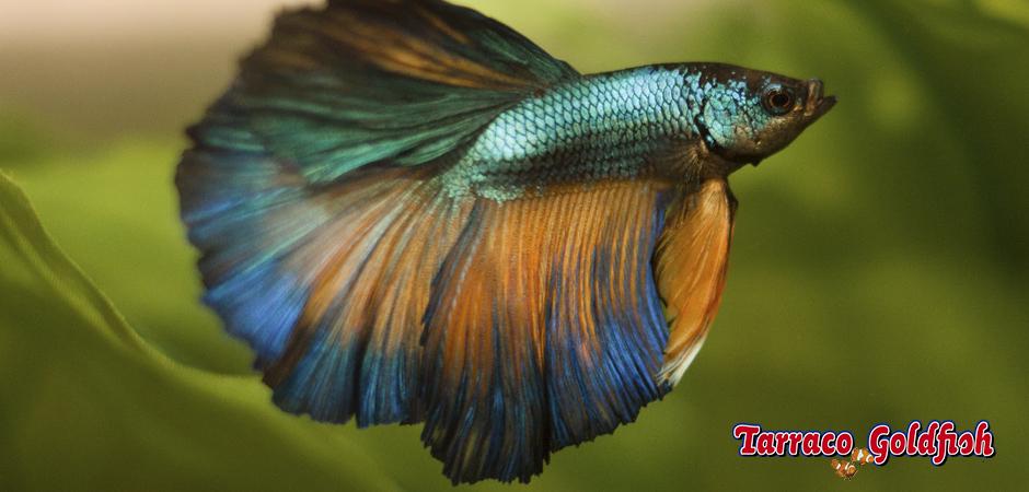 http://www.tarracogoldfish.com/wp-content/uploads/2014/02/BETTA-SPLENDENS-3-TarracoGoldfish.jpg