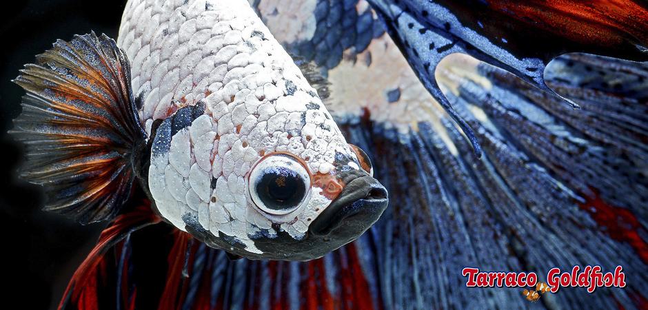 BETTA SPLENDENS TarracoGoldfish