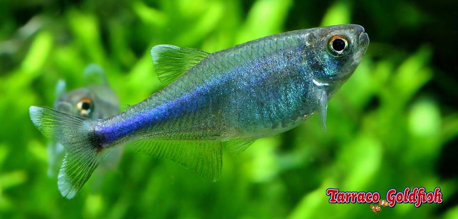 http://www.tarracogoldfish.com/wp-content/uploads/2014/02/Boehlkea-fredcochui-2-TarracoGoldfish.jpg