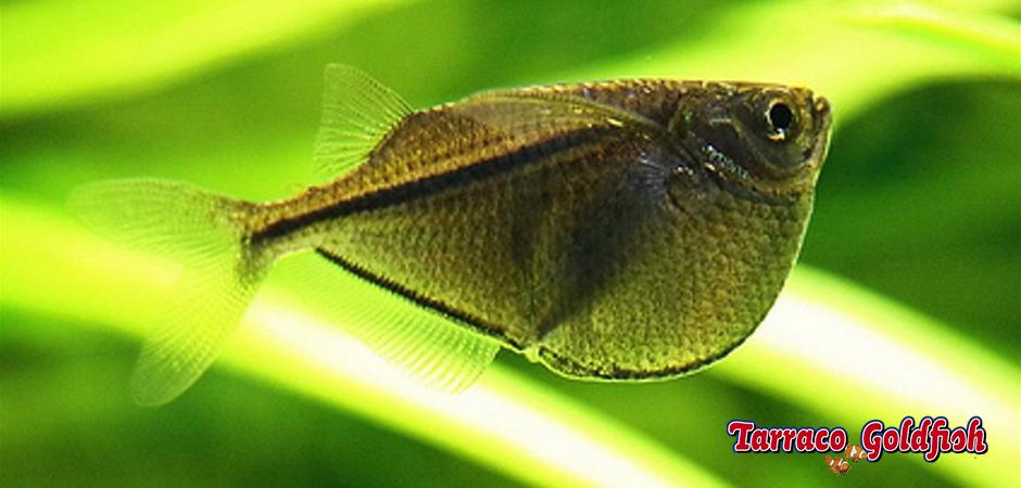 http://www.tarracogoldfish.com/wp-content/uploads/2014/02/Gasteropelecus-sternicla-2-TarracoGoldfish.jpg