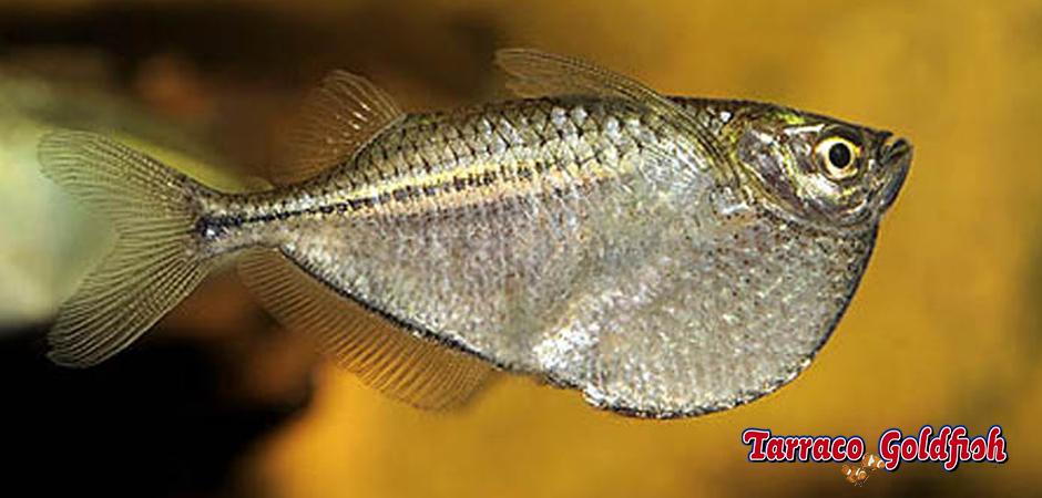 http://www.tarracogoldfish.com/wp-content/uploads/2014/02/Gasteropelecus-sternicla-3-TarracoGoldfish.jpg