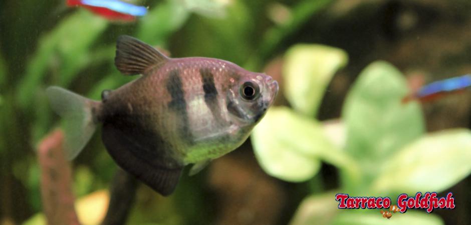 Gymnocorymbus ternetzi 0 TarracoGoldfish