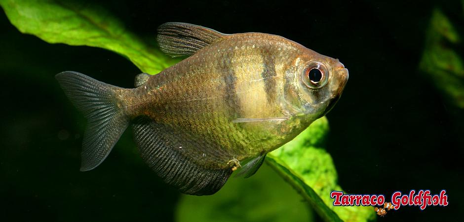 http://www.tarracogoldfish.com/wp-content/uploads/2014/02/Gymnocorymbus-ternetzi-3-TarracoGoldfish.jpg