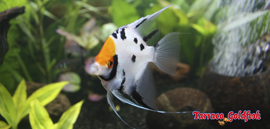 http://www.tarracogoldfish.com/wp-content/uploads/2014/02/PTEROPHYLLUM-SCALARE-0-TarracoGoldfish.jpg