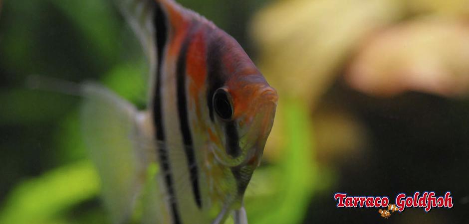 http://www.tarracogoldfish.com/wp-content/uploads/2014/02/PTEROPHYLLUM-SCALARE-2-TarracoGoldfish.jpg