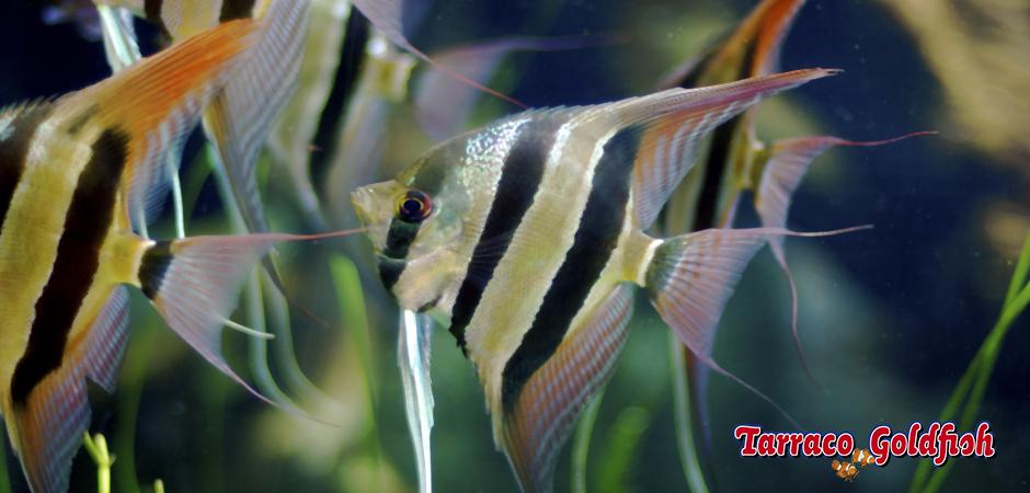 http://www.tarracogoldfish.com/wp-content/uploads/2014/02/PTEROPHYLLUM-SCALARE-TarracoGoldfish.jpg