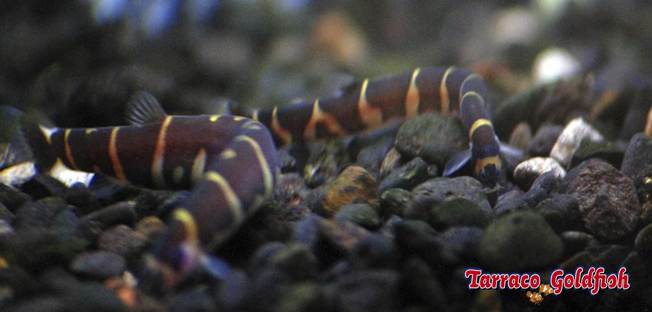 http://www.tarracogoldfish.com/wp-content/uploads/2014/02/Pangio-Kuhlii-3-TarracoGoldfish.jpg