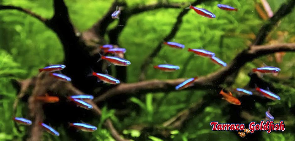 http://www.tarracogoldfish.com/wp-content/uploads/2014/02/Paracheirodon-axelrodi-6-TarracoGoldfish.jpg