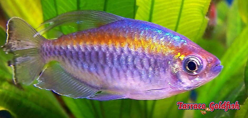 http://www.tarracogoldfish.com/wp-content/uploads/2014/02/Phenacogrammus-interruptus-2-TarracoGoldfish.jpg