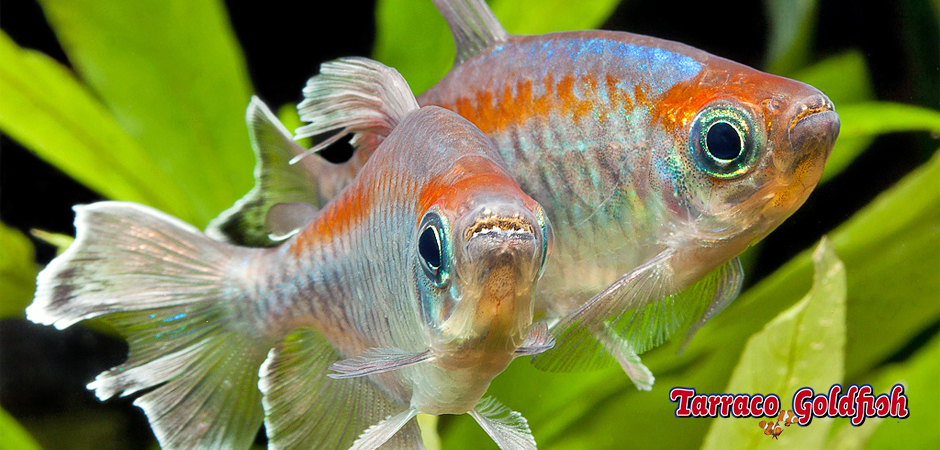http://www.tarracogoldfish.com/wp-content/uploads/2014/02/Phenacogrammus-interruptus-3-TarracoGoldfish.jpg