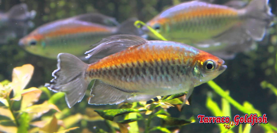 http://www.tarracogoldfish.com/wp-content/uploads/2014/02/Phenacogrammus-interruptus-4-TarracoGoldfish.jpg