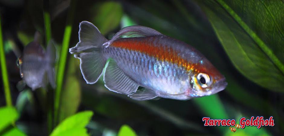Phenacogrammus interruptus TarracoGoldfish