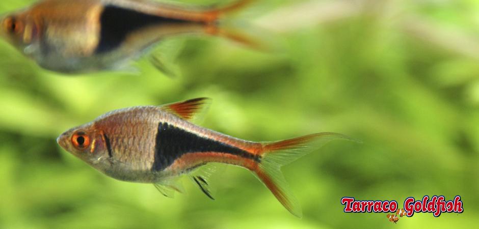 http://www.tarracogoldfish.com/wp-content/uploads/2014/02/Rasbora-heteromorpha-1-TarracoGoldfish.jpg
