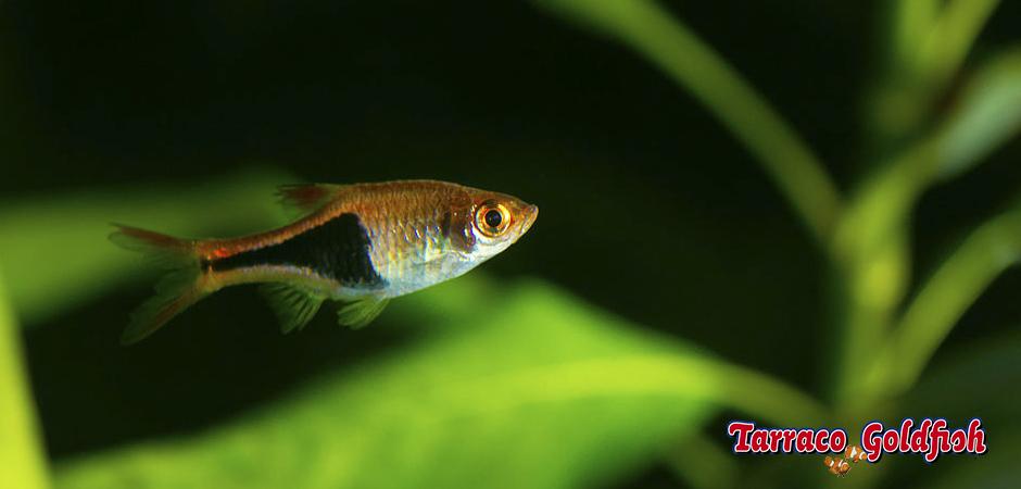 http://www.tarracogoldfish.com/wp-content/uploads/2014/02/Rasbora-heteromorpha-2-TarracoGoldfish.jpg