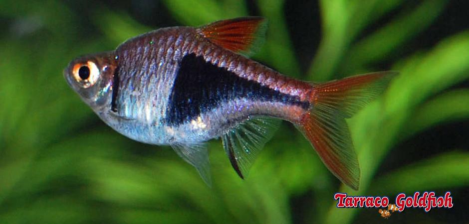 http://www.tarracogoldfish.com/wp-content/uploads/2014/02/Rasbora-heteromorpha-4-TarracoGoldfish-+-logo.jpg
